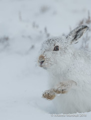 Mountain hare, ( Lepus timidus)