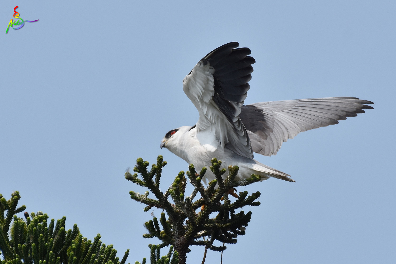 Black-winged_Kite_4652