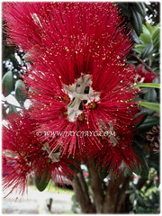 Beautiful red flower of Metrosideros excelsa (New Zealand Pohutukawa, New Zealand Christmas Tree/Bush, Iron Tree) with a central white cross, March 4 2018