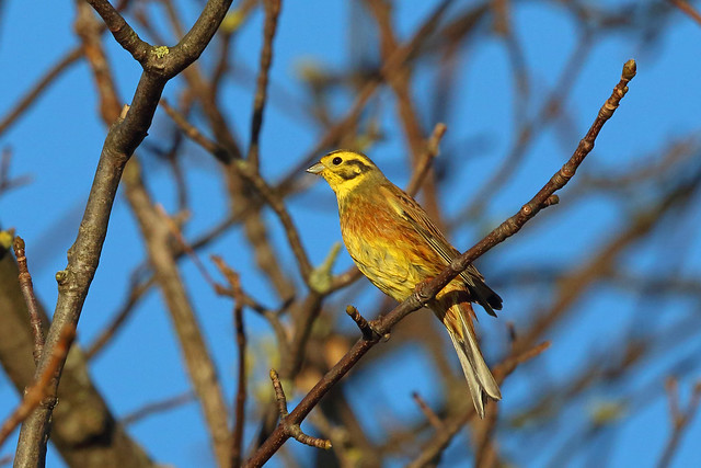 Yellowhammer, Shell Bay, Fife, Scotland