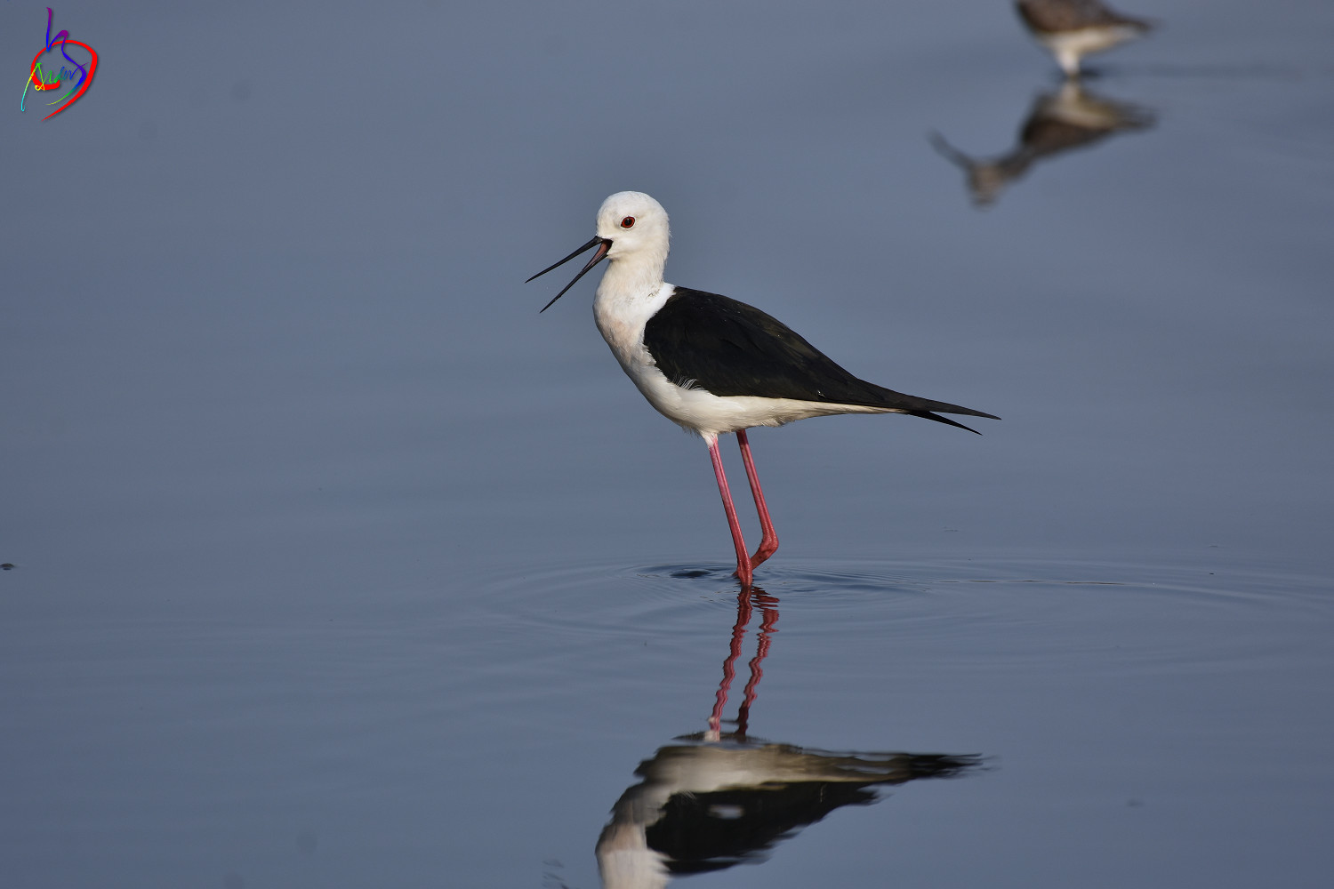 Black-winged_Stilt_3672