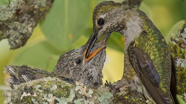 Hummingbird Mom With Fortnight, Sony SLT-A77V, Sony 70-400mm F4-5.6 G SSM (SAL70400G)