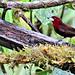 Silver-beaked tanager male, Copalinga Lodge, Ecuador