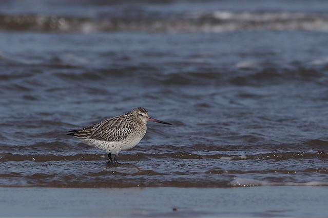 IMGP9979a Bar-tailed Godwit, Titchwell Beach, February 2018
