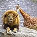 León y jirafa en la Sabana africana de BIOPARC Valencia