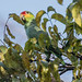 Small photo of Red-lored Parrot, Amazona autumnalis