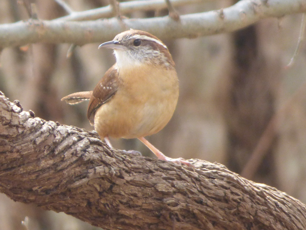 Carolina Wren, Trail at the Woods, March 10, 2018: