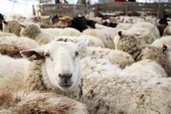 Bonnieview Shearing Day_0168
