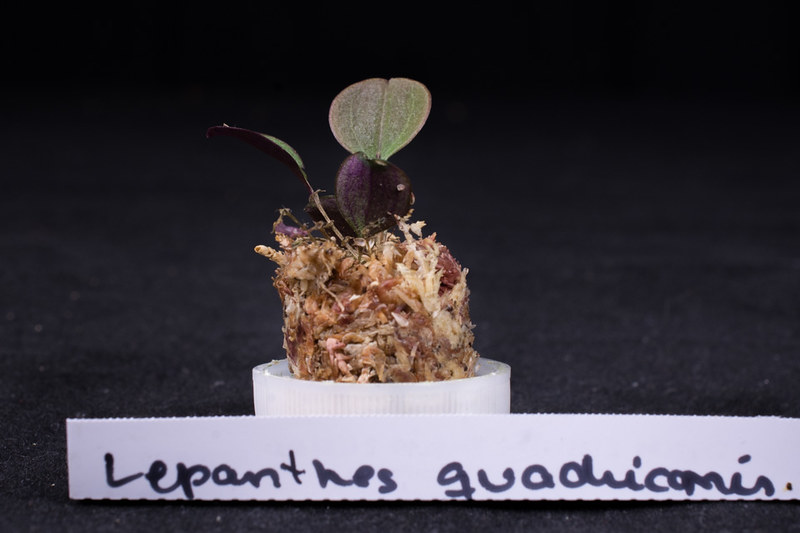 Orchideen-Neuzugang 2 40290610194_0e1e68f593_c