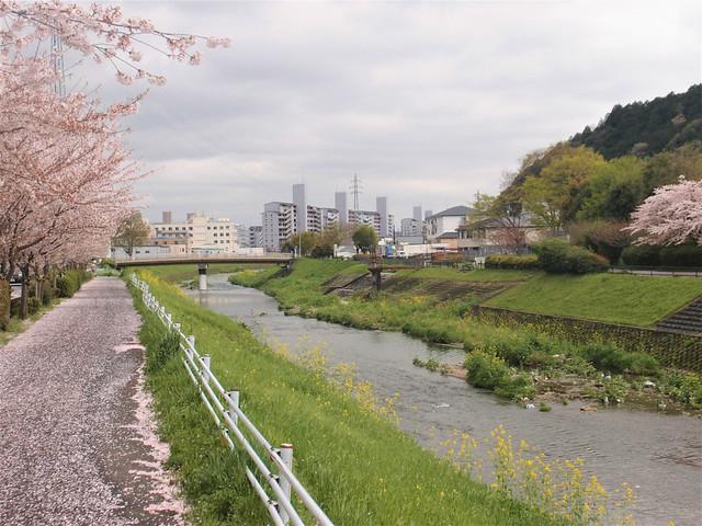 kajuji-sakura003