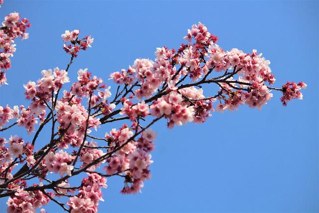 新宿御苑の寒桜(カンザクラ)