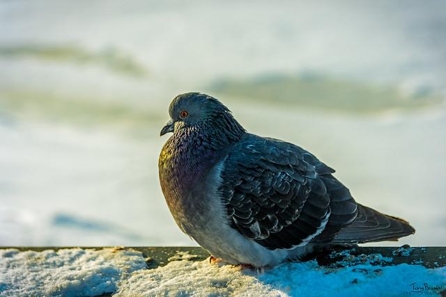 Cold pigeon