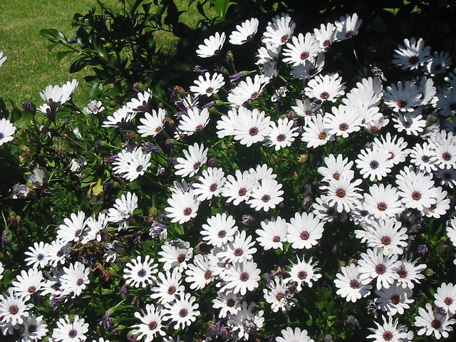 White Daisies blooming in, Canon POWERSHOT A30