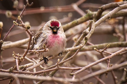 Punked Common Redpoll:  At Last!