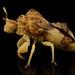 Ambush bug by Zorotypus