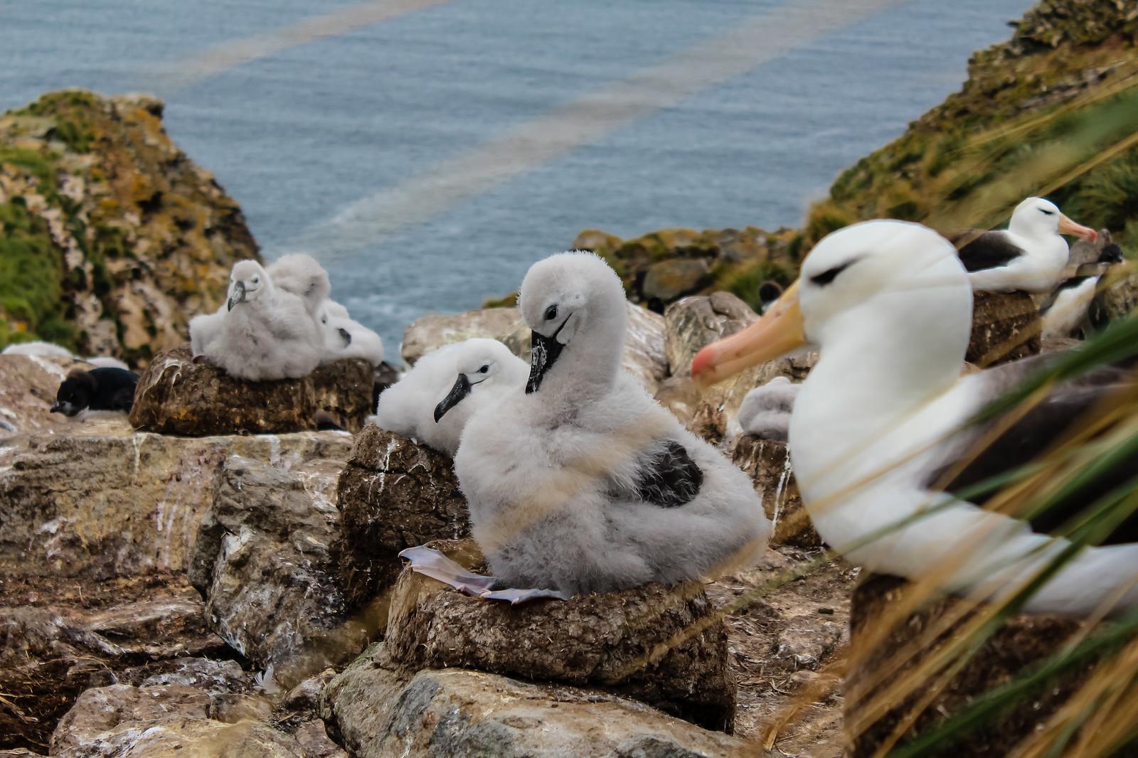 Falklandinsaaret albatrossit