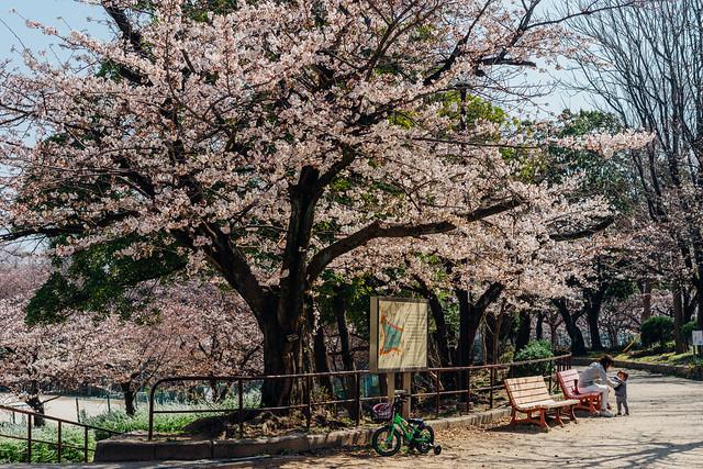 Sakura10_55mm