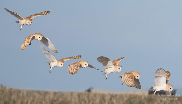 Barn owl flight sequence