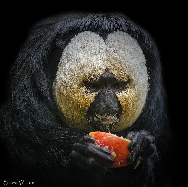 Male White faced Saki Monkey