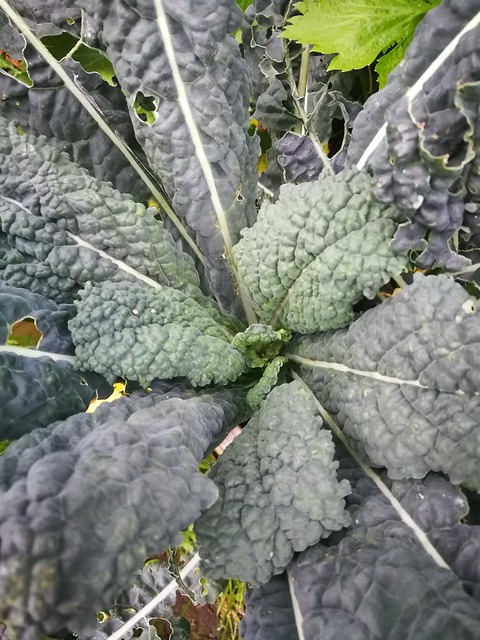 kale seeds belonging to Skud