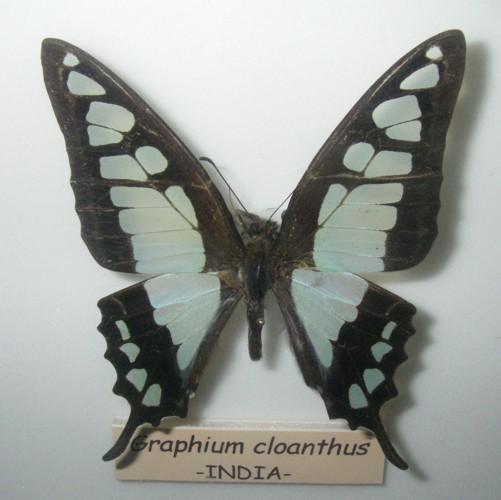 Graphium cloanthus 27080374038_05dd309142_o