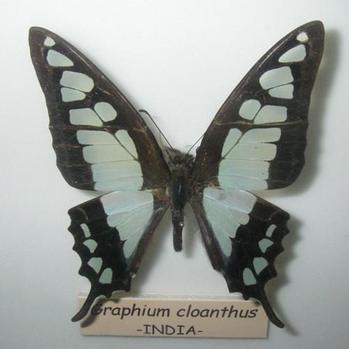 Graphium cloanthus (22-7-17 Faunia)