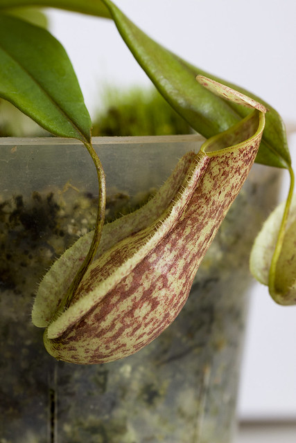 Nepenthes danseri AW