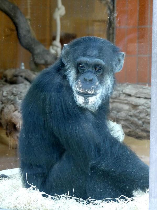 Schimpanse, Zoo Karlsruhe