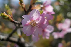 Photo:Cherry blossoms (桜) By Greg Peterson in Japan