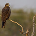 Black Kite | Milvus migrans