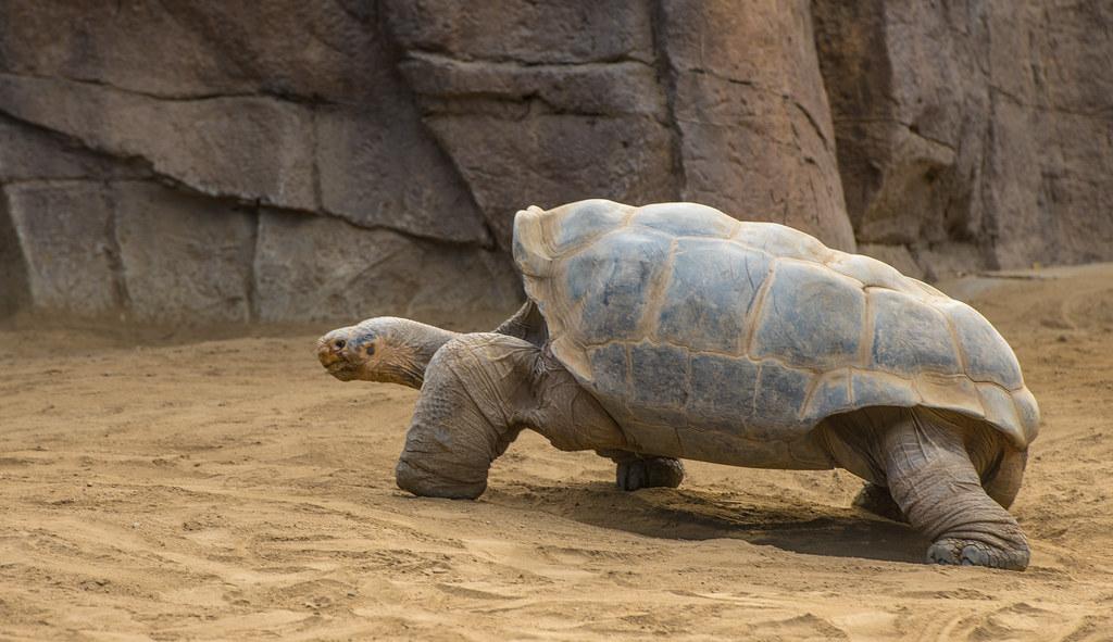 Galapagos Tortoise_7