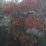 Terminalia myriocarpa tree