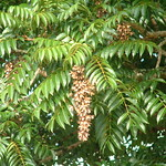 Toona ciliata leaves and capsules
