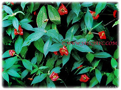 Psychotria elata (Hooker's Lips, Hot Lips Plants, Hot Lips, Mick Jagger's Lips) is a small tree that rarely exceed 3 m tall, March 13 2018