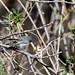 Black-capped Gnatcatcher (Polioptila nigriceps)