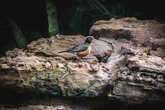 71.365.2018 Robin on the Rocks