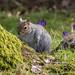 Dunham Squirrel