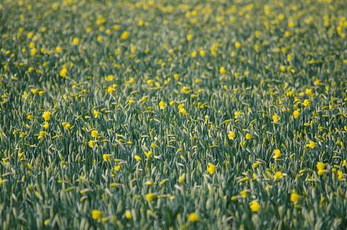 Skagit Valley Daffodils-009