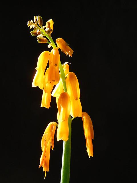 Lachenalia aloides var. aurea