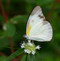 Tropical White (Glutophrissa drusilla) on a Rubiaceae (Spermacoce capitata) ...