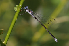 Spotted Spreadwing - Lestes congener - King County, Washington, USA - August 29, 2007