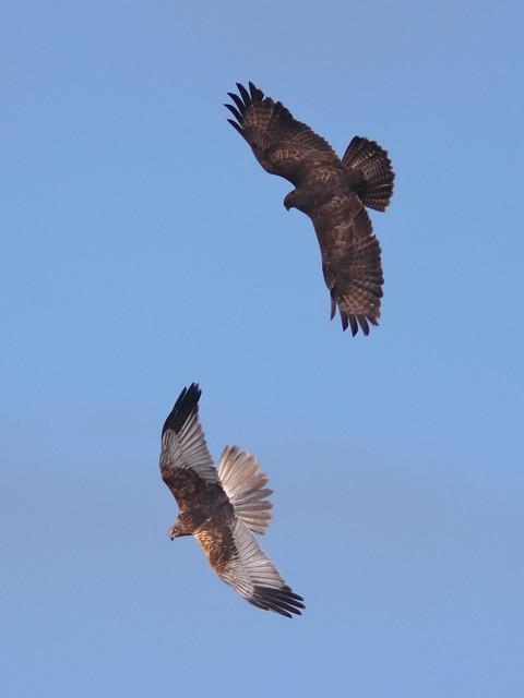 Buzzard vs Marsh Harrier