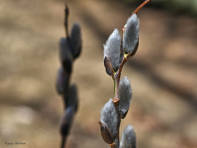 Pussy Willow, Salix discolor  -  Salicaceae: Willow Family