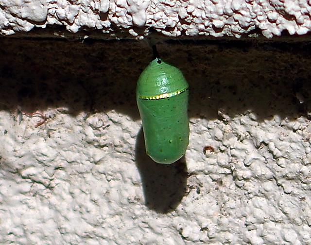 IMGP6231cmX Fullerton.CA.us Monarch Crysalis ID 18301