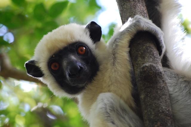 Sifaka lemur, Tsingy de Bemaraha, madagascar