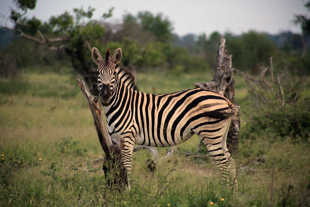 zebra, Mala Mala, South Africa