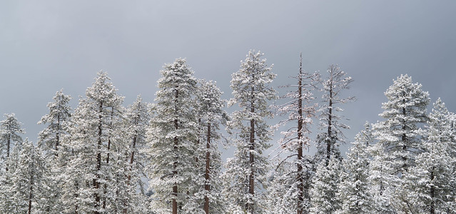 Winter Forest - Snow Valley Resort, California