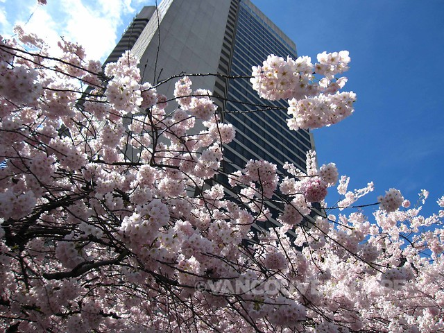 Cherry Blossom Festival-3