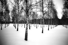 Perspectives/Birches