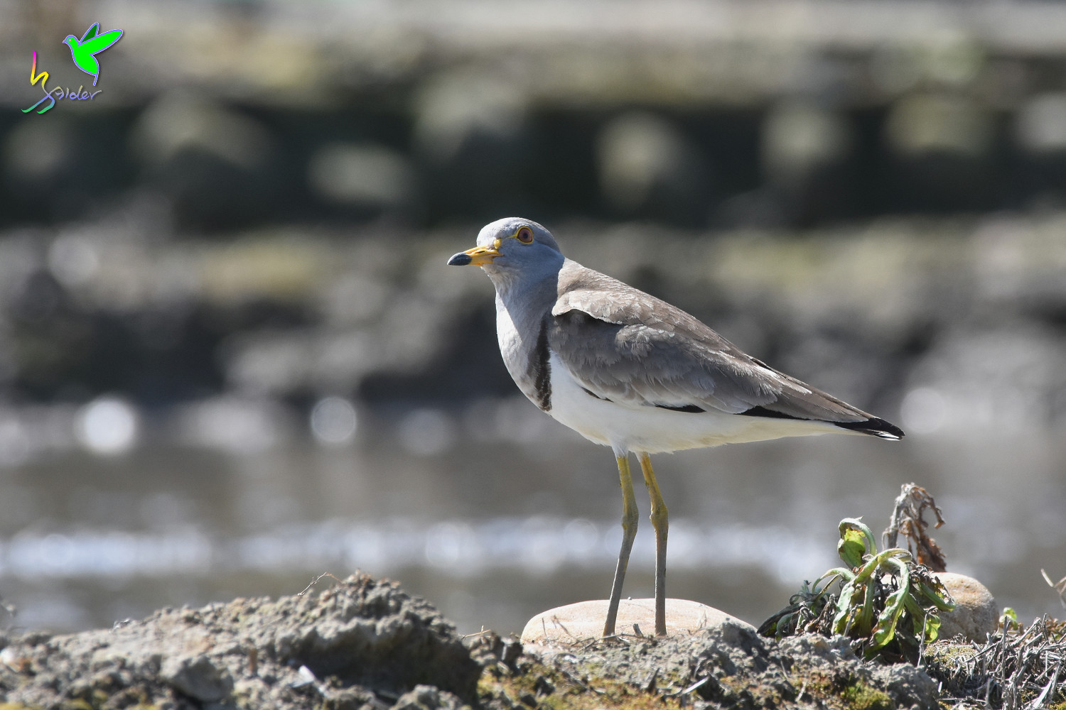 Grey-headed_Lapwing_1586